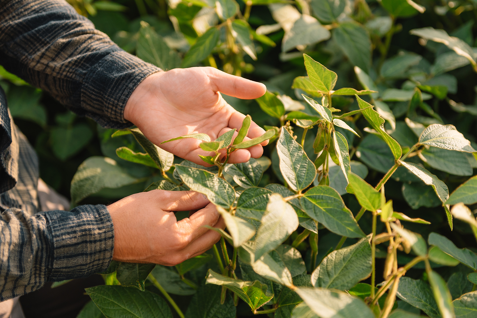 An image depicting a soybean field. Soybeans have several climate advantages.
